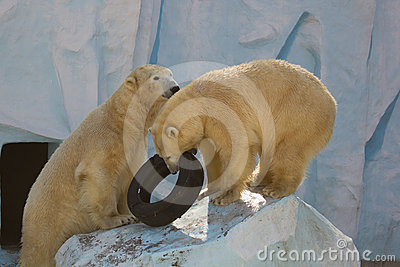 Two white bears plaing with tire