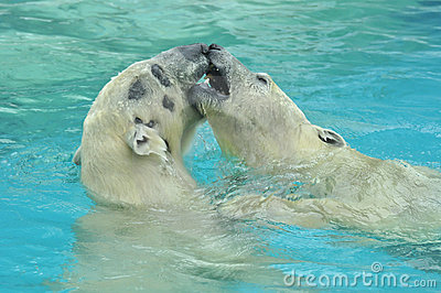 Two white bears play in the cold water