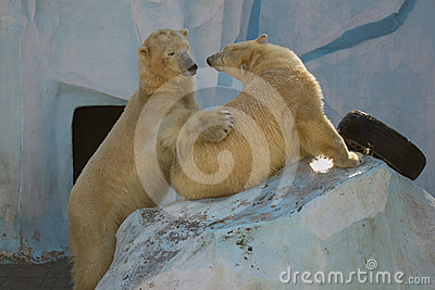 Two white bears are playing