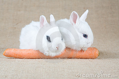 Two white bunny and a carrot