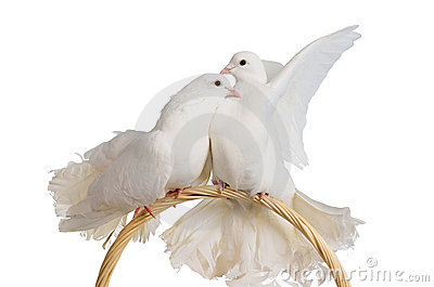 Two white doves kissing and hugging