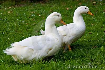 Two white ducks