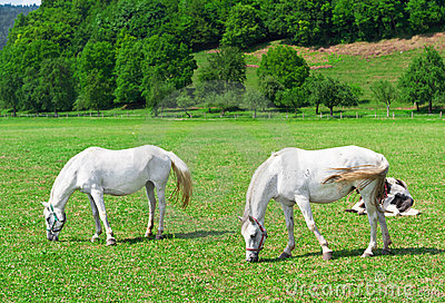 Two white grazing horses on green