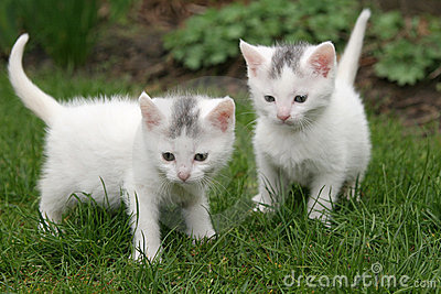 Two white kittens