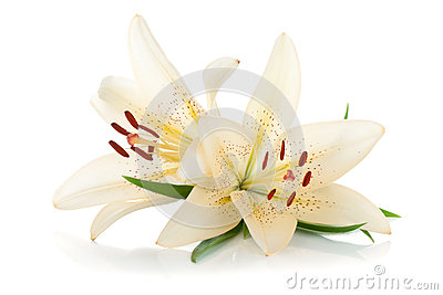 Two white lily