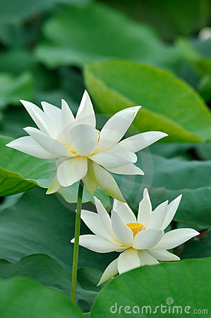 Free Two White Lotus Flower Royalty Free Stock Photography - 14537567