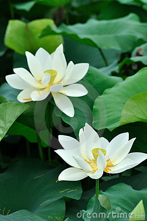 Two white lotus flower