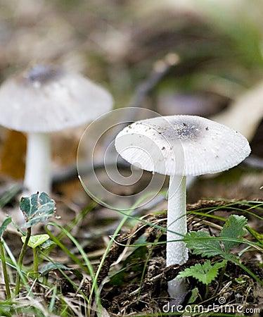 Free Two White Mushrooms Stock Photos - 3162723