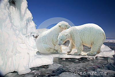 Two white polar bears