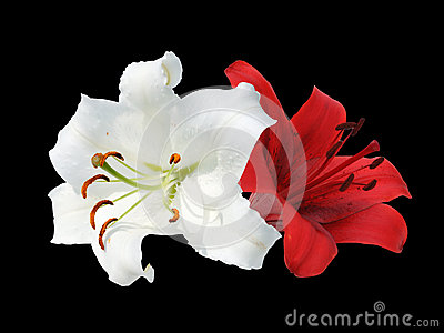 Two white and red lily