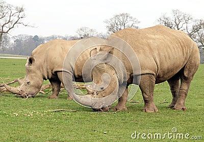 Two White Rhinoceros Stock Photo