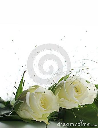 Free Two White Roses Stock Photo - 6534060