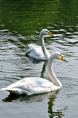 Two white swan is swimming in water