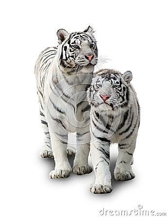 Free Two White Tiger Royalty Free Stock Photos - 21422458