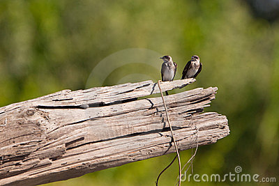 Two White-winged Swallows on a log.