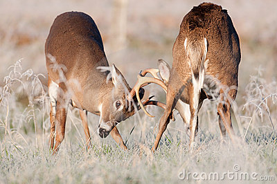 Two whitetail bucks sparring