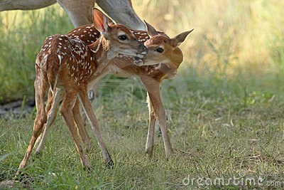 Two whitetail deer