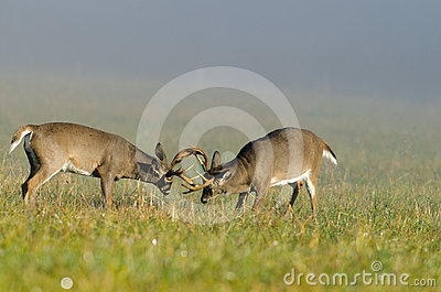 Two whitetail deer bucks sparring
