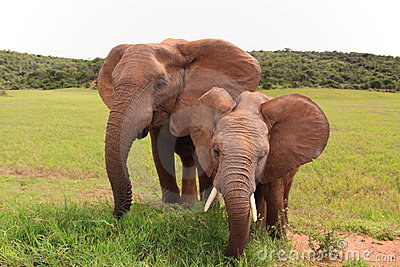 Two wild african elephants eating
