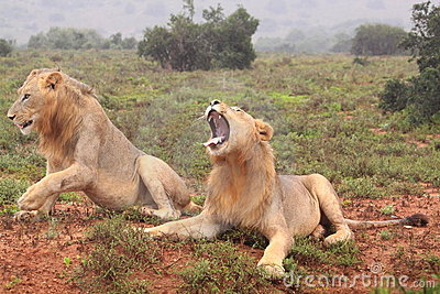 Two wild african male lions