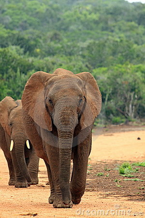 Two wild elephants walking