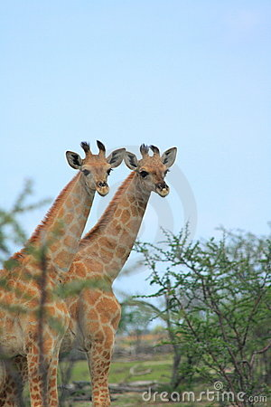 Two wild giraffes
