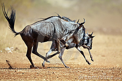 Two wildebeests running through the savannah