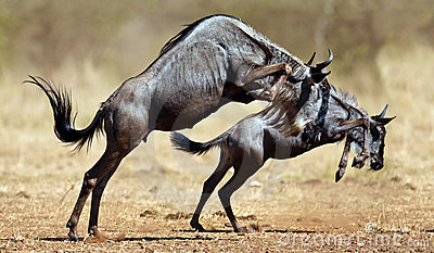 Two wildebeests stands on reare
