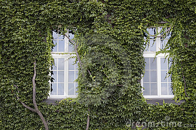 Two windows and old wall covered in ivy leaves