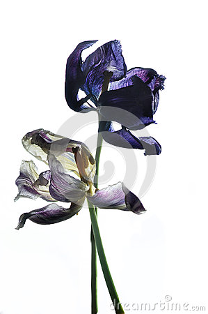 Free Two Withered Tulip Stock Photography - 40022182