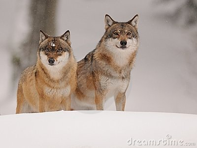 Two Wolves ( Canis lupus )