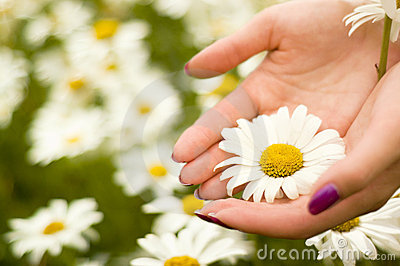 Two women hands holding one daisy flower