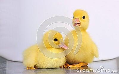 Two yellow baby ducks