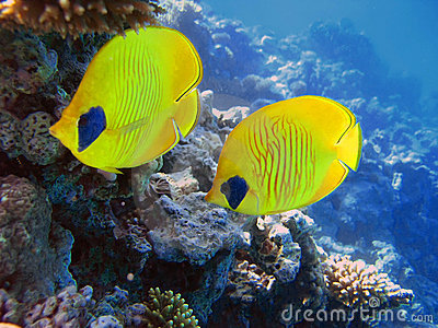 Two yellow bluecheek butterflyfish