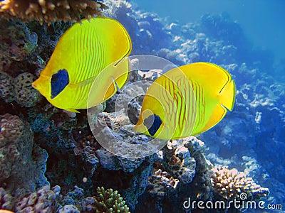 Two yellow bluecheek butterflyfish