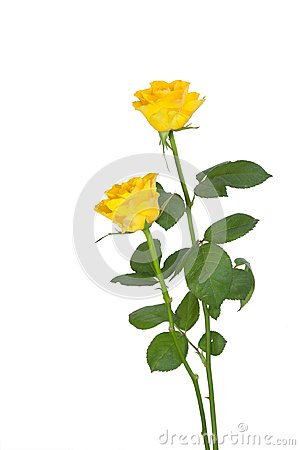 Free Two Yellow Roses Royalty Free Stock Photography - 101750777