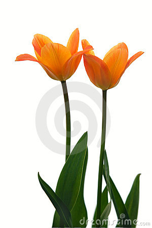 Free Two Yellow Tulips. Stock Images - 5034694