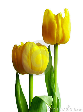 Two yellow tulips