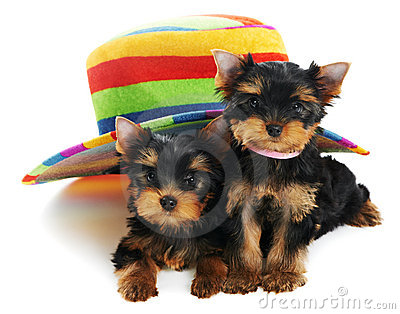 Two Yorkshire Terrier 3 month