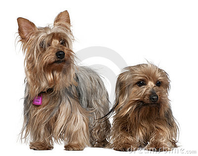 Two Yorkshire terriers, 3 and 6 years old