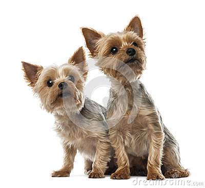 Two Yorkshire Terriers sitting and looking away