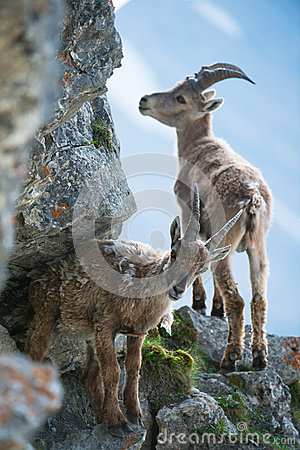 Two young alpine ibex (lat. Capra ibex