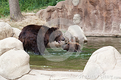 Two young brown Kamchatka bears