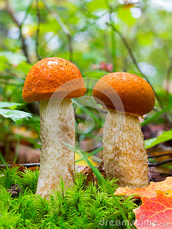 Free Two Young Edible Forest Mushroom Orange-cap Boletus Among Green Moss And Dry Leaves In Autumn Forest Royalty Free Stock Photo - 78627535