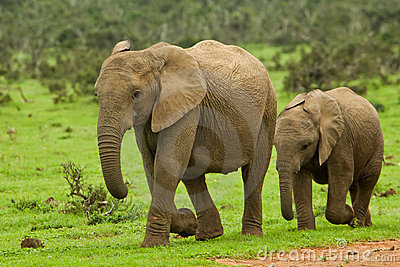 Two young elephants