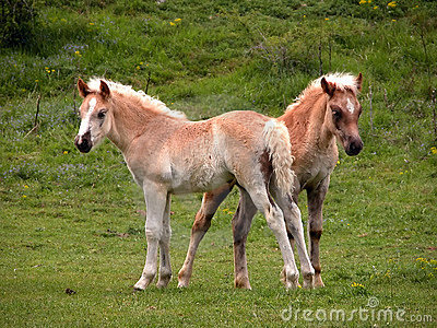 Two young foals