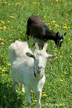 Two young goats grazing