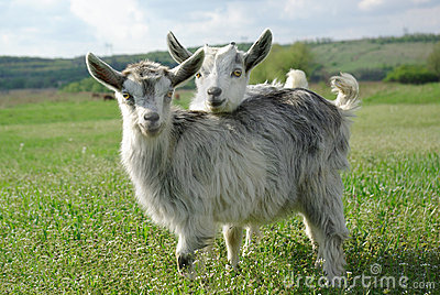 Two young goats on a green meadow