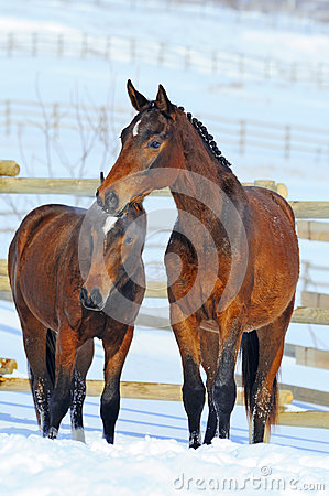Two young horses  on the snow field