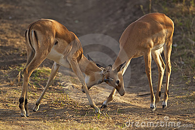 Two young male impalas fighting